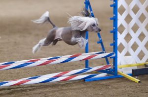 1200px-Chinese_Crested_hairless_agility