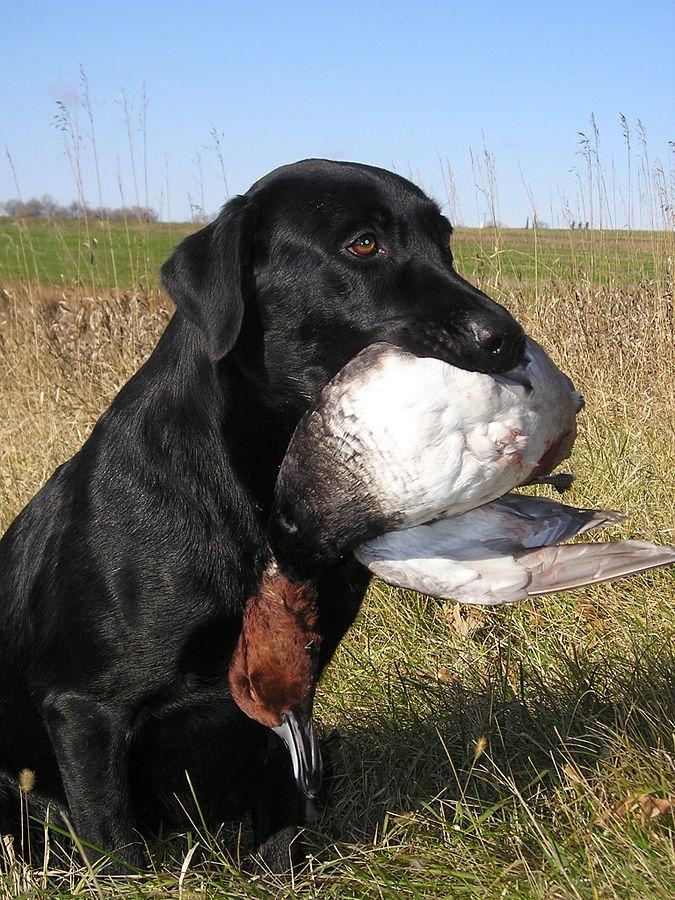 675px-Dealer_the_Labrador_Retriever_and_a_redhead_duck