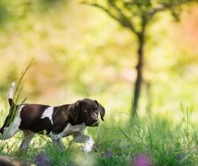 A German Shorthaired Pointer puppy in the field, learning how to hunt.